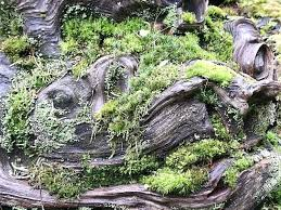 peat moss for garden several species of moss growing on a burl sphagnum peat moss gardenia peat moss for garden