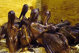 oil spills affect on wildlife mrs wold s biology classes image result for oil and spill and wildlife