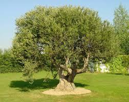 Risultati immagini per olivo foto