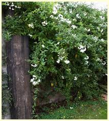 Best 25 Ficus Pumila Ideas On Pinterest  Vines Ivy Wall And IvyWall Climbing Plants Names