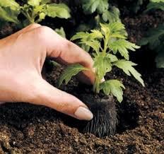 Resultado de imagen para siembra INDIRECTA de hortalizas