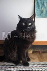 Fotografie Obraz Black Maine Coon Cat Posterscz