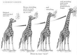 natural selection giraffe example google search essay  natural selection giraffe example google search