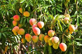 Delicious And Refreshing Fruits Of Kerala  Healthyliving From Kerala Fruit Trees