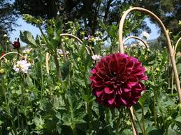 locally farmed dahlias make for colorful bouquets all summer long 0