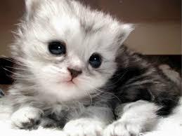 Hasil gambar untuk Kucing Anggora