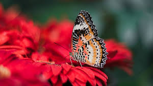 Red Flower Wallpaper Colorful Butterfly On Red Flower 4k Wallpaper Hd Wallpapers