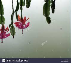 Kaktus Blumen Hängend Nach Unten Aus Einem Regal Vor Eine