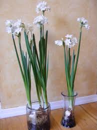 Paper White Flower Bulb Plant Paperwhite Bulbs For Simple Decor Mollyinseattle