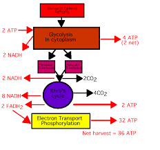 cell respiration assignment help homework help online tutoring  outline of cell respiration