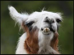 funny goat showing teeth closeup face image