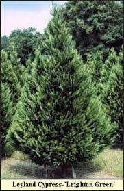 Types Of Christmas Tree U0026 How To Choose The Right Type Types Of Fir Christmas Trees