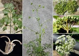 Xanthoselinum venetum (Spreng.) Soldano & Banfi - Sistema ...