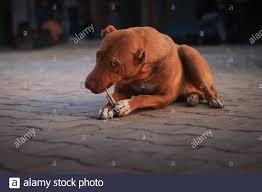 Der hund muss innerhalb eines monats nach kauf oder geburt bzw. Erwachsener Hund Lecken Pfote Stockfotos Und Bilder Kaufen Alamy
