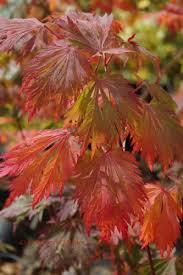 Japanese Maple Growth Chart Japanese Maple Tree Varieties Mendocino Maples Nursery
