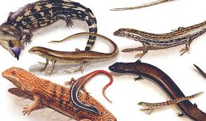 Lizard Species Chart A Selection Of Pins About Animals