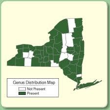 Alopecurus - Genus Page - NYFA: New York Flora Atlas - NYFA ...