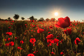 while most canadians wear the poppy as an important symbol of respect and reverence each remembrance day the poppy itself also has amazing health benefits
