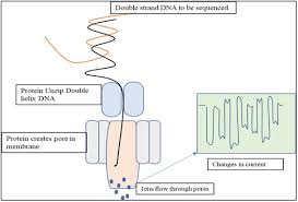 Long Read Nanopore Sequencing Technology And Its Application