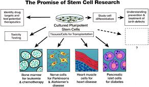 healthy living no federal cash for embryonic stem cell research points to ponder