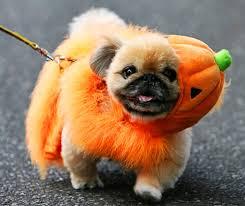 pug in pumpkin costume. Wonderful Costume The Pumpkin Pug Throughout In Costume