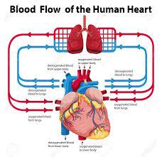 59 Punctilious Flowchart Of Blood Circulation
