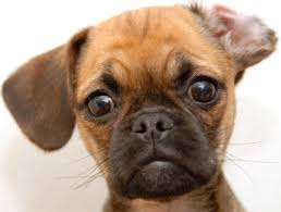 cute baby puggle. Exellent Baby They Are Just SO Damn Cute I Love These Babies So Much It Is A Mix  Between Purebred Pug And Beagle If You Think Puggle Ugly  Intended Cute Baby Puggle M