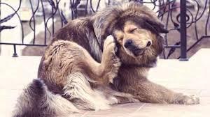 big dog scratching its head