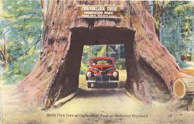 chandelier tree drive thru tree at underwood park on redwood highway to drive through this giant redwood with a height of 315 feet and a diameter of 21
