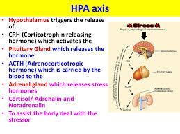 Hpa Axis Stress Hpa Axis Vce U4 Psych