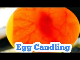 Egg Candling Chart Egg Candling From Day 1 To 21 Egg Hatching