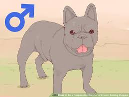 image led be a responsible breeder of french bulldog puppies step 2