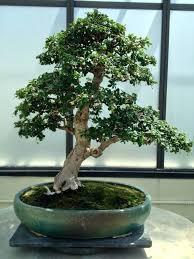 office bonsai. Office Bonsai Tree Medium Image For Good Desk I