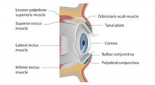 Eyelid Anatomy The Eyelids Conjunctiva Muscles Lacrimal Glands Teachmeanatomy