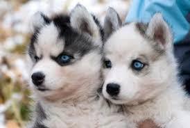 pomeranian husky full grown. Fine Pomeranian Pomeranian Husky Puppies In Pomeranian Husky Full Grown O
