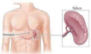 Image result for spleen digestive system