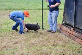 Catch that pig!   TheLancasterNews.com