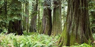 douglas fir pictures. Unique Douglas Douglas Fir With Pictures