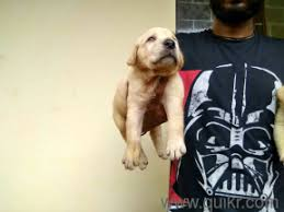 arjun rddy special british puppies in begumpet hyderabad pets on hyderabad quikr clifieds