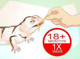 Mealworm Size Chart How To Feed Mealworms To A Bearded Dragon 9 Steps With