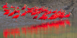 Image result for image of scarlet ibises in red sunset
