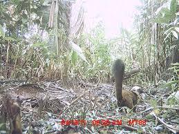 wild cam tws members what s eating lemurs in conservation wildcam lemurs 7