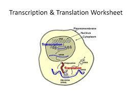 In your picture above, circle an rna nucleotide. Transcription Translation Worksheet Ppt Video Online Download