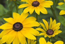 How to Grow and Care for Black-Eyed Susans (Rudbeckia)