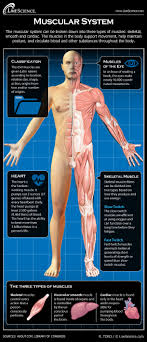 Body muscles names muscle names human muscular system yoga anatomy foot reflexology psoas muscle muscle anatomy major muscles these names are derived from latin. Human Muscular System Diagram How It Works Live Science