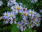 Images & Illustrations of crooked-stemmed aster