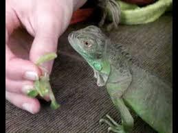 Taming My 6 Months Old Green Iguana