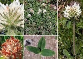 Trifolium noricum Wulfen subsp. noricum - Portale sulla flora del ...