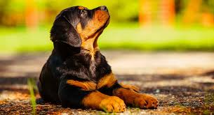 How Long Do Rottweilers Live Your Rottweiler Life Span Guide