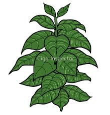 tobacco plant clipart. Delighful Tobacco Tobacco Clipart Tobacco Plant 1 For Plant Clipart O
